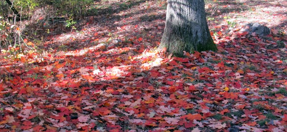 Leaves in the Shenandoah National Park